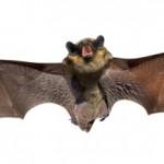 13-fatos-incriveis-morcegos-1-150x150
