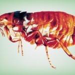 pulga-150x150