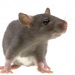 rato-m-20110203-150x150